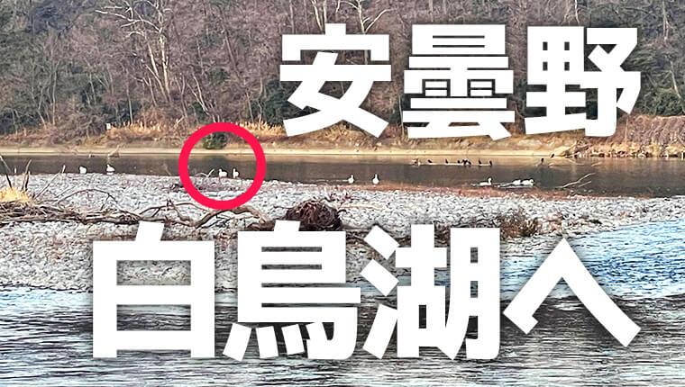 冬の風物詩!安曇野犀川白鳥湖へ白鳥とカモをみてきた