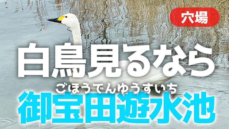安曇野で白鳥を見るなら御宝田遊水池!水が超綺麗な小川も最高。
